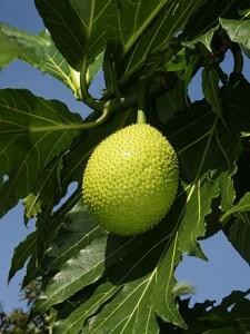 Breadfruit...who knew?
