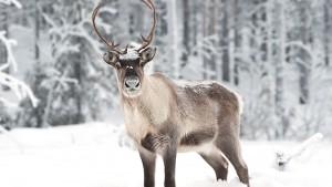 reindeer-lapland-2